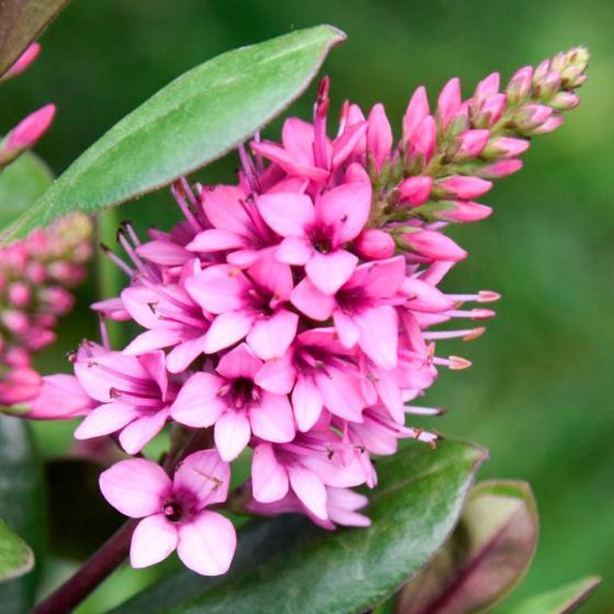 Pinke Strauchveronika, im ca. 12 cm-Topf
