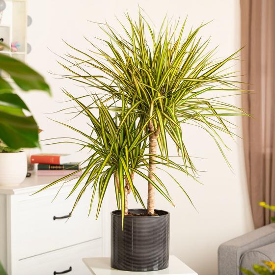 Drachenbaum Sunray, 2er Tuff, im ca. 17 cm-Topf