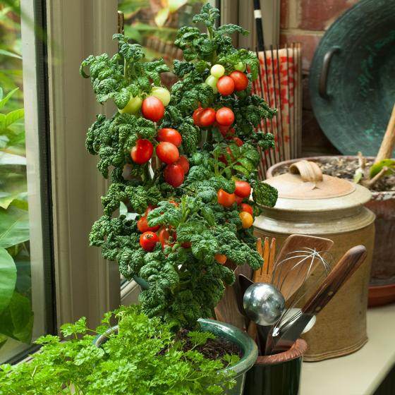 Tomatensamen Patio Plum