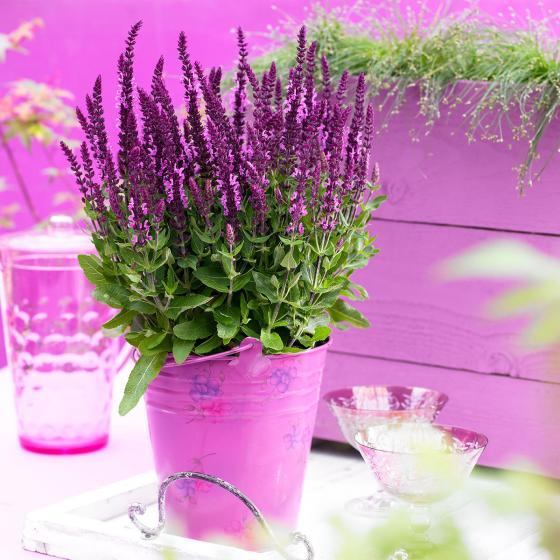 Salbei Sensation® Compact Bright Rose, im ca. 9 cm-Topf