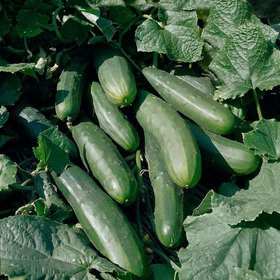 BIO Salatgurkensamen Sonja