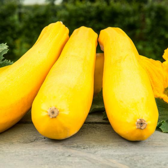 BIO Zucchinipflanze Ola Gabriella
