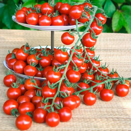 Tomatenpflanze Philovita