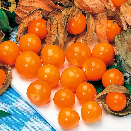 Andenbeerenpflanze Goldvital®