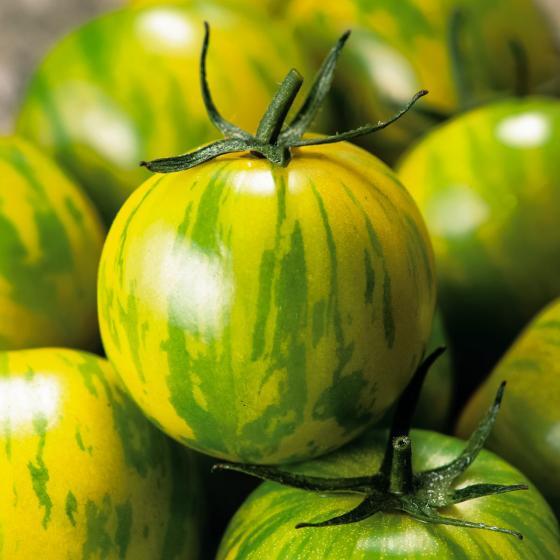 Tomatenpflanze Tiverta, veredelt, im ca. 12 cm-Topf