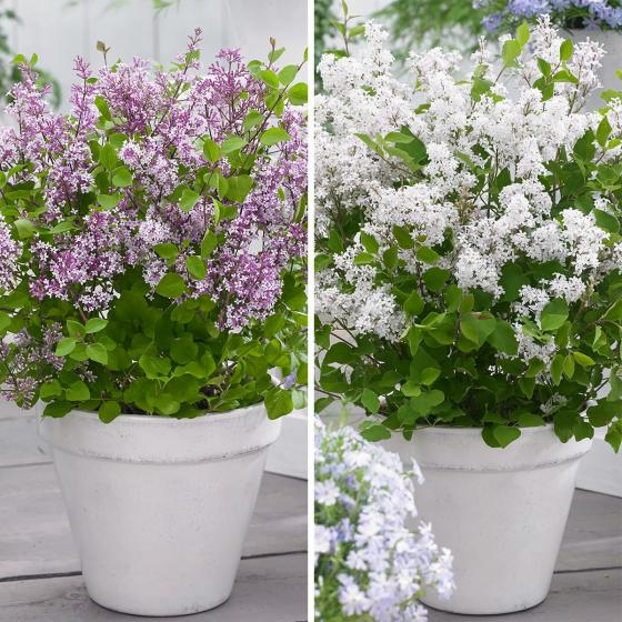 Sortiment Zwerg-Duftflieder Flowerfesta®, im ca. 19 cm-Topf