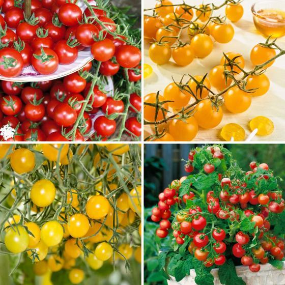 Sortiment Bunte Cherry-Tomatenpflanzen, 4 Stück