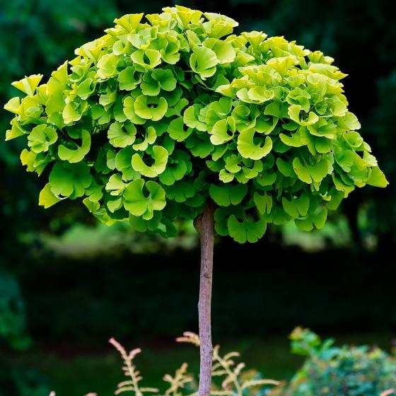 Ginkgo-Stamm, 40-60 cm