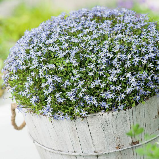 Blauer Bubikopf
