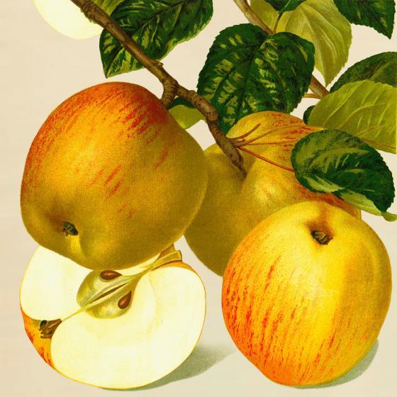 Apfel Goldparmäne, im ca. 28 cm-Topf