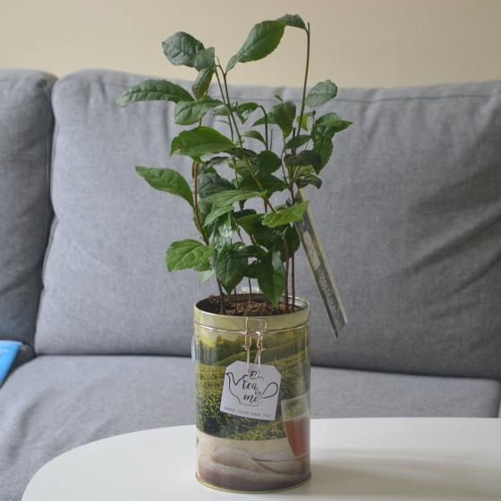 Teepflanze in Blechdose