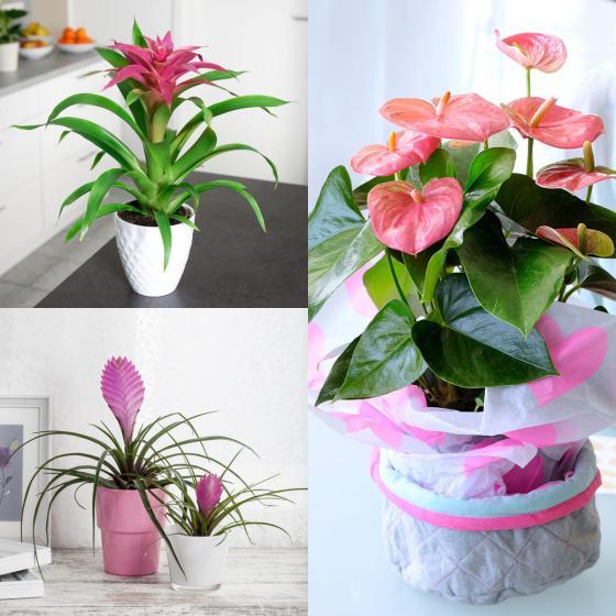 Zimmerpflanzen-Set Rosa Wohnzimmer