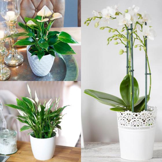 Zimmerpflanzen-Sortiment Weißes Wohnzimmer