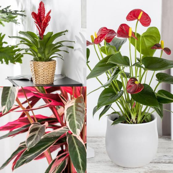 Zimmerpflanzen-Sortiment Rotes Wohnzimmer