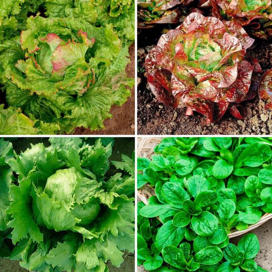 Saatgut-Sortiment Salat-Liebhaber
