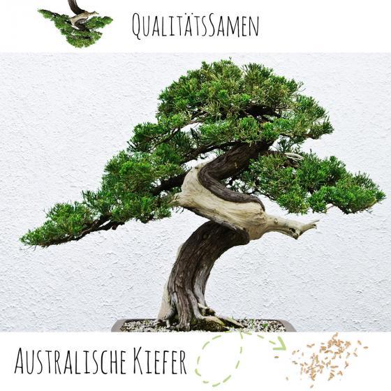 Bonsai Samen Australische Kiefer
