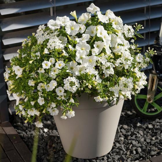 Trio Confetti Garden™ White Win, im ca. 12 cm-Topf