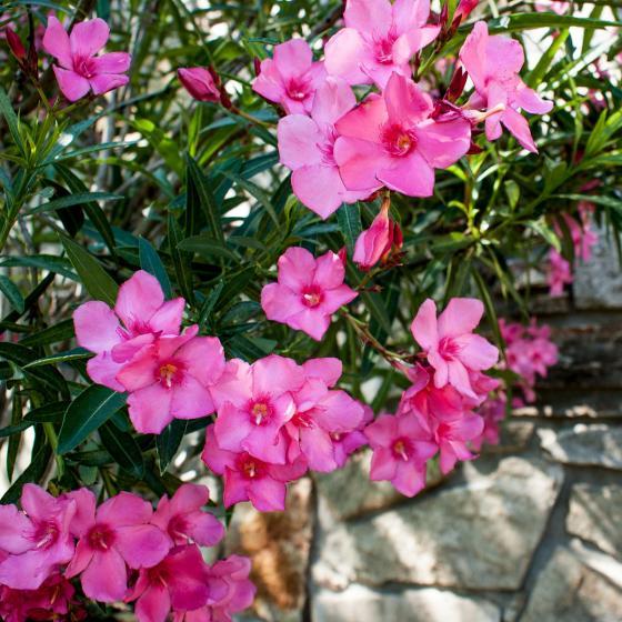 Oleander Busch, rosa, im ca. 20 cm-Topf