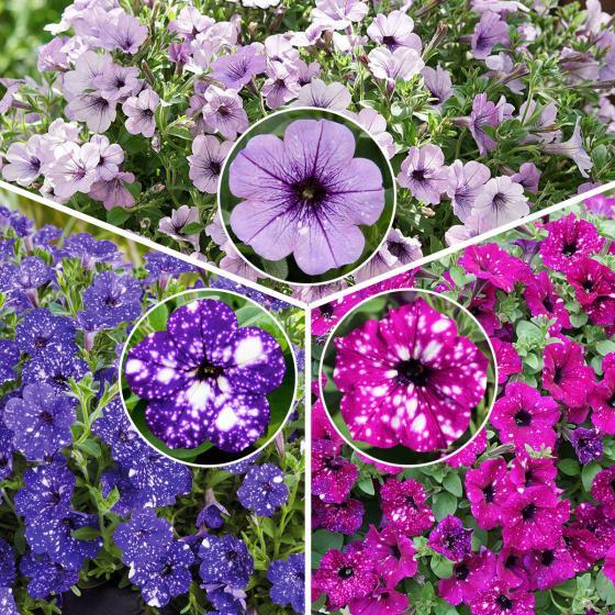 Sommerblumen-Sortiment Petunien-Trio Bunter Sternenhimmel, im ca. 12 cm-Topf