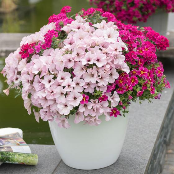 Trio-Confetti Garden Vintage Vicky, im ca. 12 cm-Topf
