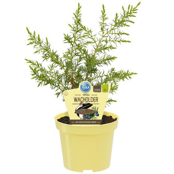 BIO Kräuterpflanze Grill-Wacholder, im ca. 12 cm-Topf
