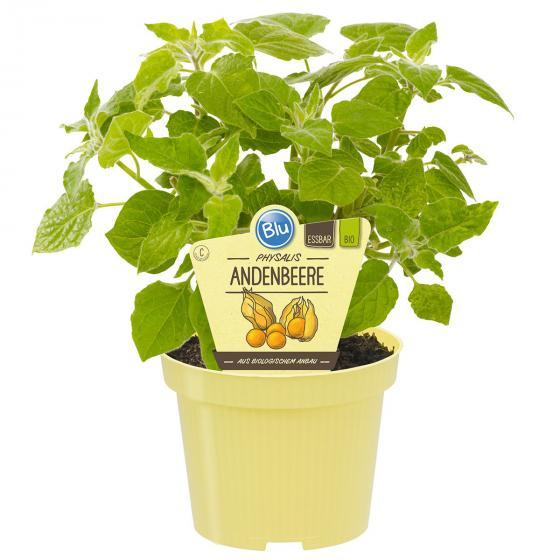 BIO Obstpflanze Andenbeere, im ca. 12 cm-Topf