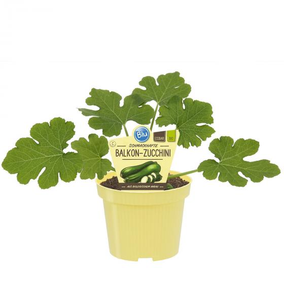 BIO Gemüsepflanze Balkon-Zucchini, im ca. 12 cm-Topf