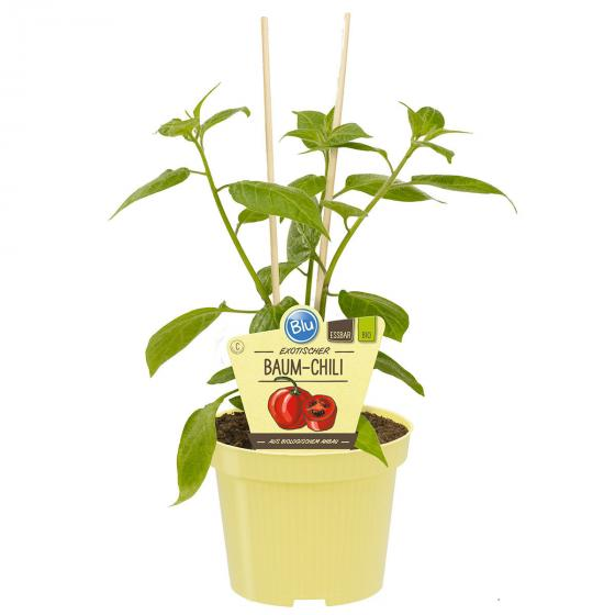BIO Gemüsepflanze Baum-Chili, im ca. 12 cm-Topf