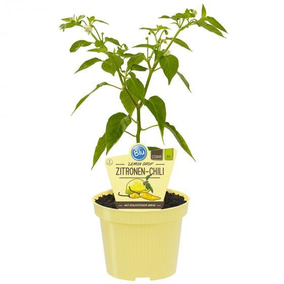 BIO Gemüsepflanze Zitronen-Chili Lemon Drop, im ca. 12 cm-Topf