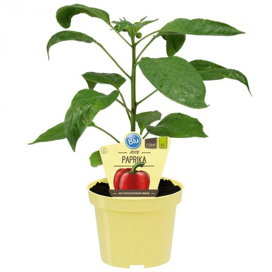 BIO Gemüsepflanzen Paprika Midred, im ca. 12 cm-Topf