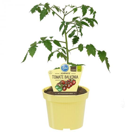 BIO Gemüsepflanze Tomate Balkonia, im ca. 12 cm-Topf