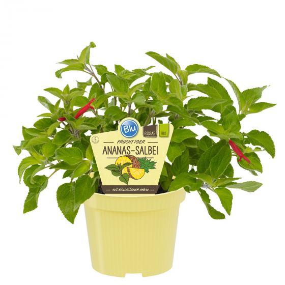 BIO Kräuterpflanze Ananas-Salbei, im ca. 12 cm-Topf