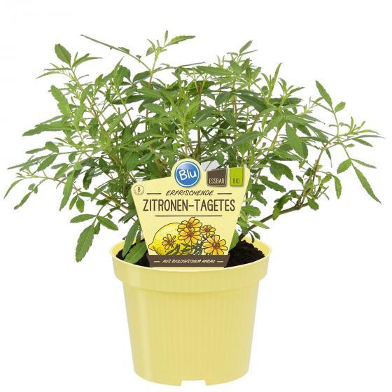 BIO Kräuterpflanze Zitronen-Tagetes, im ca. 12 cm-Topf