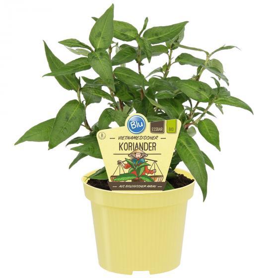 BIO Kräuterpflanze Vietnamesischer Koriander, im ca. 12 cm-Topf