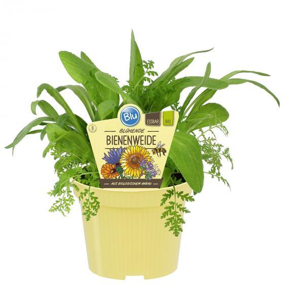 BIO Kräuterpflanze Bienenweide, im ca. 12 cm-Topf