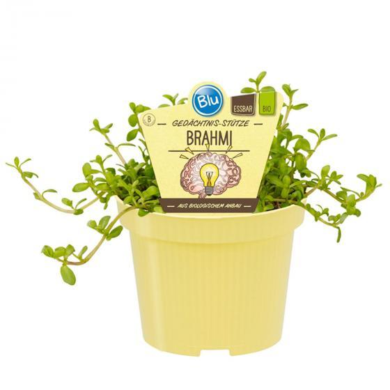 BIO Kräuterpflanze Gedächtnis-Stütze Brahmi, im ca. 12 cm-Topf