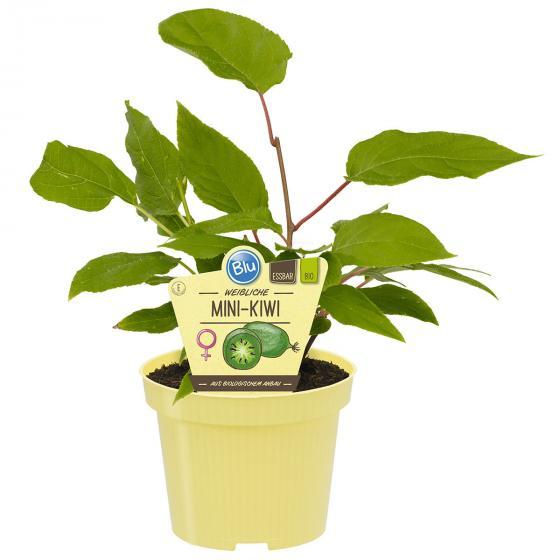 BIO Obstpflanze Mini-Kiwi weiblich, im ca. 12 cm-Topf