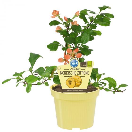 BIO Zitruspflanze Nordische Zitrone, im ca. 12 cm-Topf