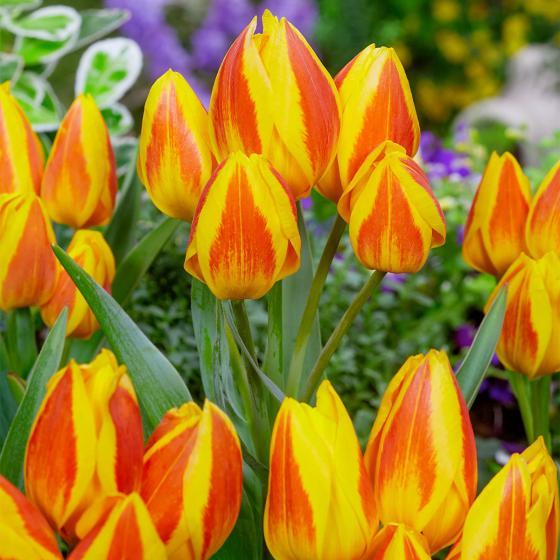 Tulpe Heweri