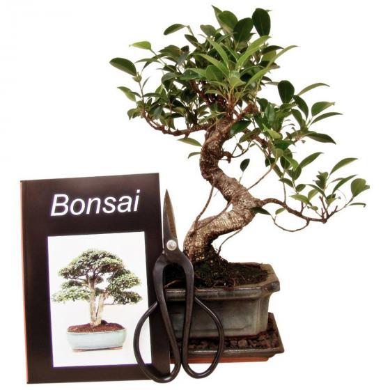 Bonsai Anfänger-Set - Große tropische Feige