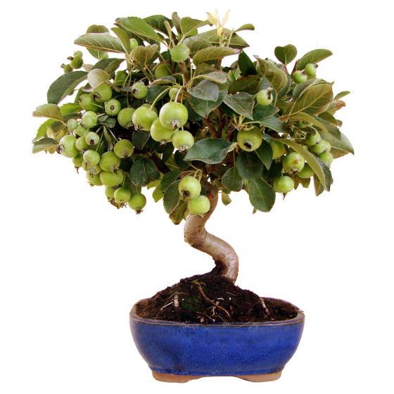 Freilandbonsai Apfelbaum