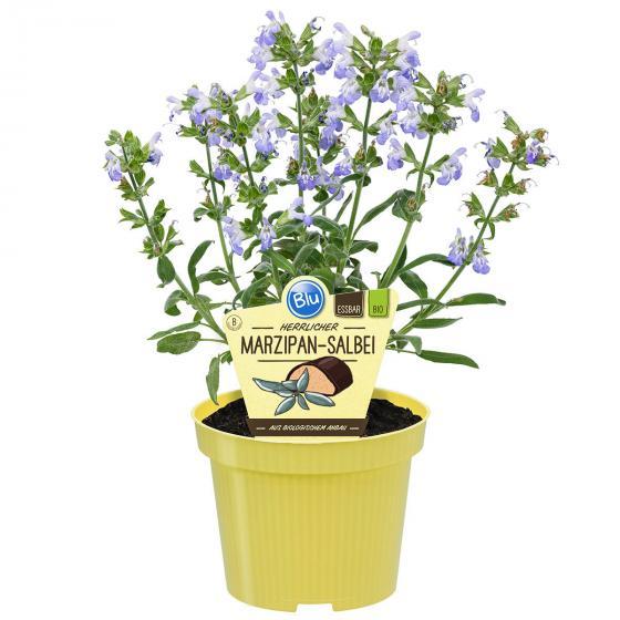 BIO Kräuterpflanze Marzipan-Salbei, im ca. 12 cm-Topf