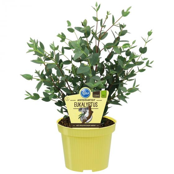 BIO Kräuterpflanze Eukalyptus, im ca. 12 cm-Topf