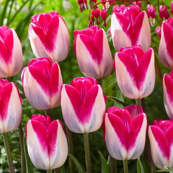 Tulpe Showgirl