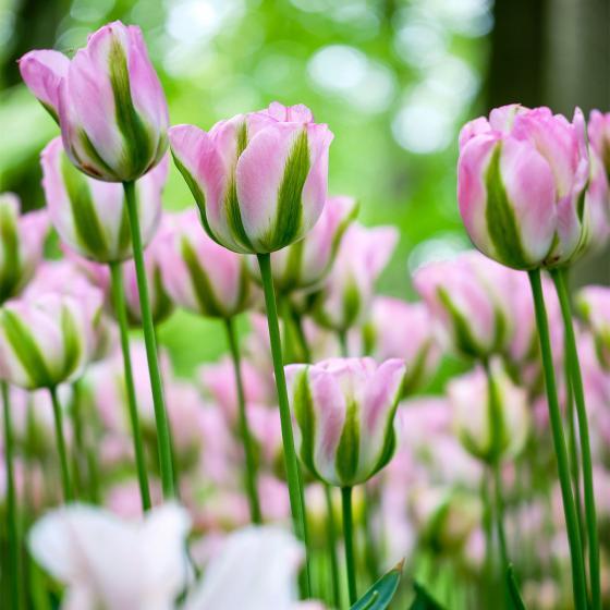 Tulpe Groenland