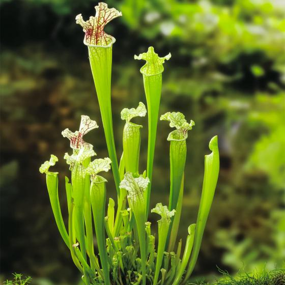 Schlauchpflanze, im ca. 9 cm-Topf