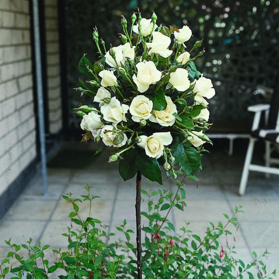 Weißer Rosen-Stamm, im ca. 26 cm-Topf