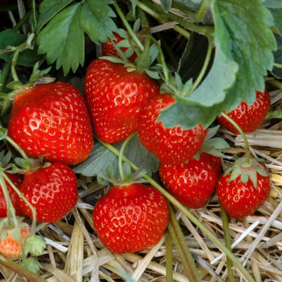 Erdbeere Gento 12er-Set, im ca. 7 cm-Topf