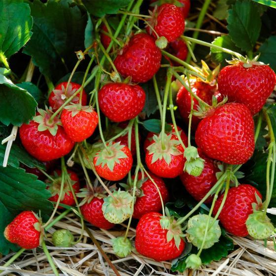 Erdbeere Sengana® Selection 12er-Set, im ca. 7 cm-Topf