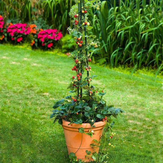 Erdbeere Klettertoni 3er-Set, im ca. 9 cm-Topf
